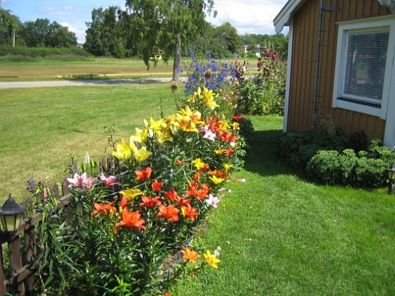 Liljor &nbsp 2011-07-16 IMG_0002 Granudden Färjestaden Öland
