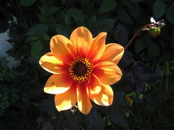Dahlia { En vacker Dahlia. }