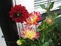 Dahlia  2011-07-24 IMG_0041