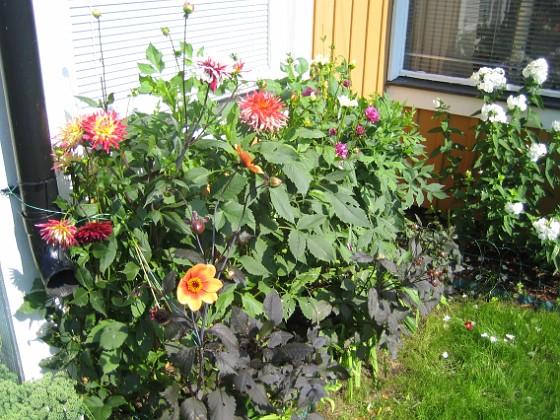 Dahlior &nbsp 2011-07-31 IMG_0044 Granudden Färjestaden Öland