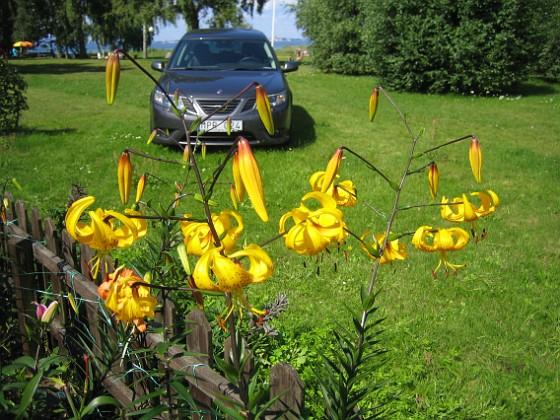 Liljor &nbsp 2011-08-02 IMG_0025 Granudden Färjestaden Öland