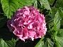 Hortensia  2011-08-18 IMG_0051