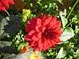 Dahlior  2011-10-01 IMG_0012