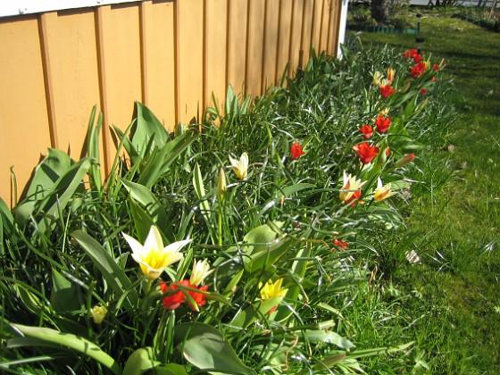 Tulpaner Man får verkligen skynda sig om man vill se några Krokusar, de blommar över på en vecka. Förra året var här massor av Tulpaner.&nbsp 2012-04-08 006 Granudden Färjestaden Öland