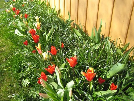 Tulpaner { Här är nu inte lika många Tulpaner som förra året. Jag vet inte riktigt vad det kan bero på, men dessa förädlade tulpaner kanske inte är så långlivade och speciellt inte i vårt klimat. Annat är det i Holland. }