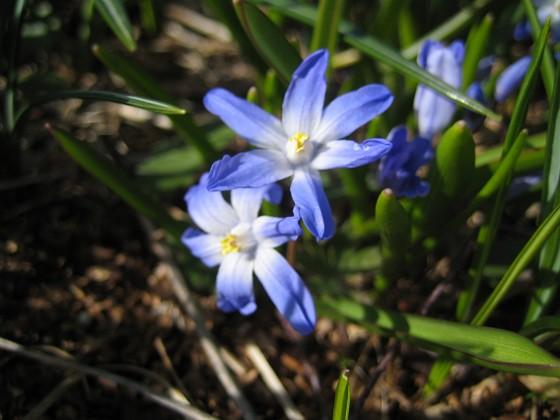 Vårstjärna Det här är en av mina favoriter. Vårstjärna förökar sig glatt och sprider blåvit färg under flera veckor på våren.&nbsp 2012-04-08 009 Granudden Färjestaden Öland