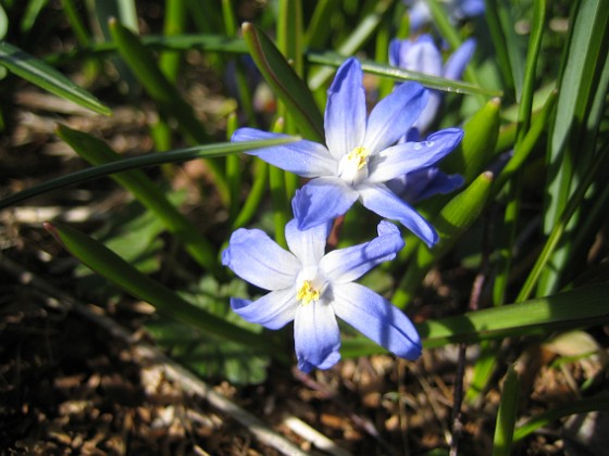 Vårstjärna { Men de är precis lika vackra i närbild! }