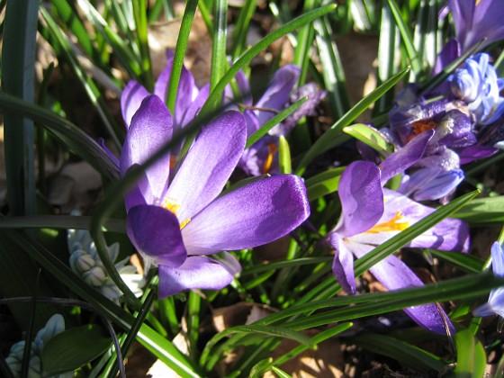 Krokus { En krokus där solen precis når blomman. }