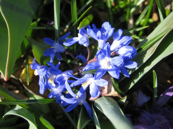 Vårstjärna Man får verkligen leta efter blommor som får vackert solsken på sig.&nbsp 2012-04-08 021 Granudden Färjestaden Öland