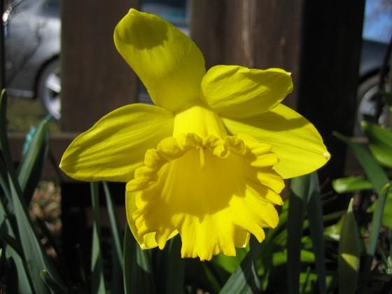 Påsklilja { Jag försöker får blommor i stakt ljus med mörk bakgrund. }