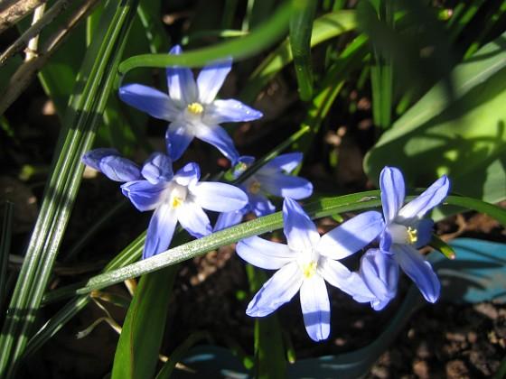 Vårstjärna Mina vårstjärnor uppträder bara i små grupper, jag vill ha hela mattor med blått. 2012-04-08 027 Granudden Färjestaden Öland