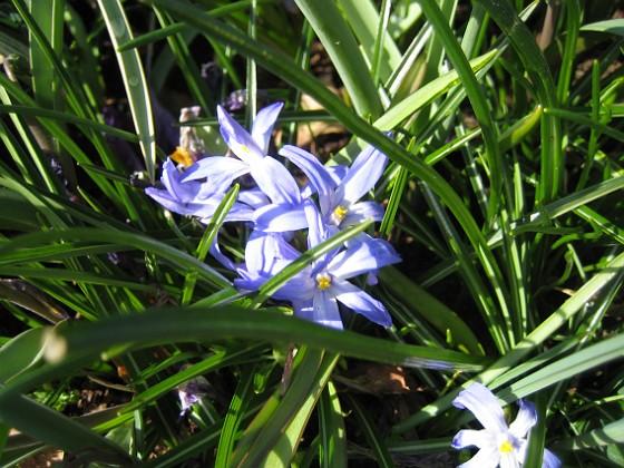 Vårstjärna &nbsp 2012-04-08 030 Granudden Färjestaden Öland
