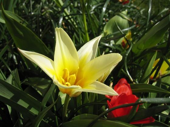 Näckrostulpan Dessa tidiga tulpaer är fantastiska. De öppnar sig i solskenet och är verkligen härliga att beskåda.&nbsp 2012-04-08 032 Granudden Färjestaden Öland