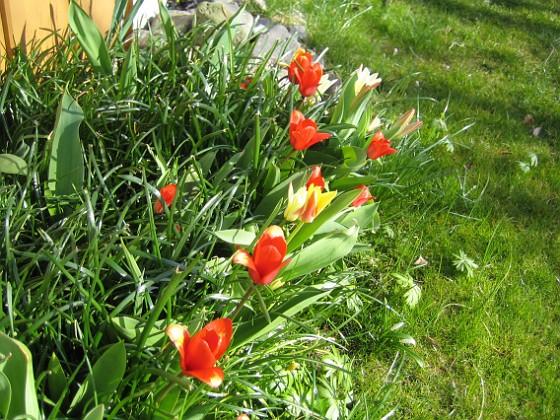 Tulpaner Synd att det inte blev lika många tulpaner i år. Jag misstänker att det blir för trångt i rabatten. 2012-04-08 037 Granudden Färjestaden Öland