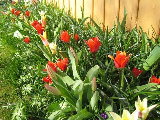 Tulpaner Man får skynda sig att plocka bort alla överblommade tulpaner , så att de nya kan få fritt spelrum.&nbsp 2012-04-08 039 Granudden Färjestaden Öland