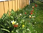 Tulpaner Man får verkligen skynda sig om man vill se några Krokusar, de blommar över på en vecka. Förra året var här massor av Tulpaner. 2012-04-08 006