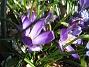 Krokus En krokus där solen precis når blomman. 2012-04-08 020