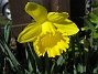 Den här Påskliljan blir extra vacker i solskenet. (2012-04-08 022)