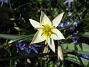 Vildtulpan Den här bilden på en vacker vildtulpan ser ut att ha både kontrast och skärpa. 2012-04-08 025
