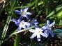 Vårstjärna Mina vårstjärnor uppträder bara i små grupper, jag vill ha hela mattor med blått. 2012-04-08 027