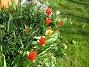 Tulpaner Synd att det inte blev lika många tulpaner i år. Jag misstänker att det blir för trångt i rabatten. 2012-04-08 037