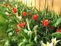 Man får skynda sig att plocka bort alla överblommade tulpaner , så att de nya kan få fritt spelrum. (2012-04-08 039)
