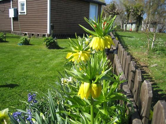 Kejsarkrona Den finns även i en gul version som heter Lutea.&nbsp 2012-05-01 004 Granudden Färjestaden Öland