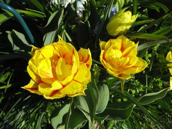 Tulpaner De är lite senare i sin blomning, och det är egentligen ganska bra. Jag vill ju inte att allting skall blomma över på en vecka. 2012-05-01 008 Granudden Färjestaden Öland