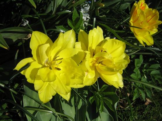Tulpaner Här är samma blomma fast helt i gult.&nbsp 2012-05-01 010 Granudden Färjestaden Öland