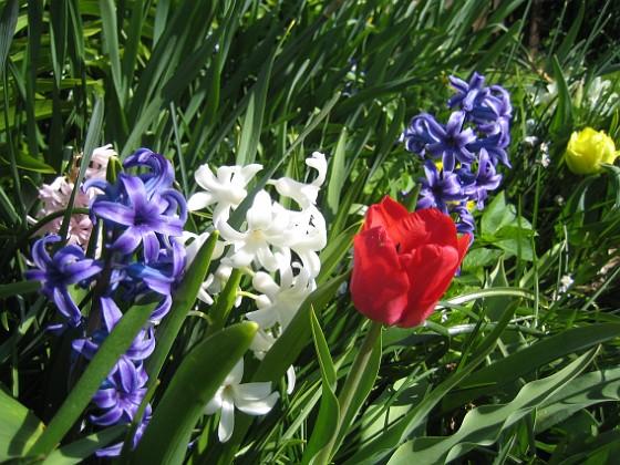 Hyacinter { Jag hade från början väldigt mycket hyacinter men det blir färre och färre för varje år. Även dessa blommor har en viss förmåga att tränga ut sig själva så att säga, de har verkligen vidlyftiga blad och de behöver gott om utrymme. }