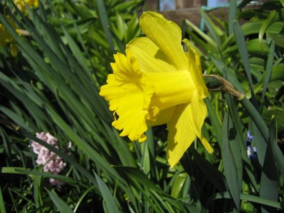 Påsklilja { Tänk på att det var över en månad sedan jag var på Öland och tog den första bilden på mina påskliljor. Och är har jag, en månad senare, fortfarande påskliljor. }