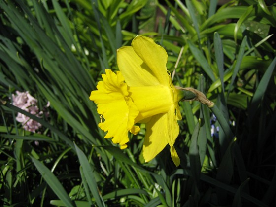 Påsklilja { Jag tycker om växter med stora blommor klara färger. }