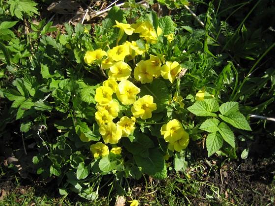 Primula När jag gjorde om min långa rabatt på bakgården, så köpte jag lite plantor på måfå och lyckades då få fatt i den här blomman, som kommer tillbaka varje år. 2012-05-01 021 Granudden Färjestaden Öland