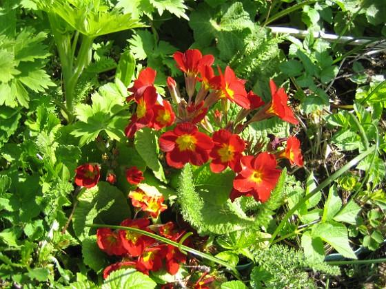 Primula { Den blommar tidigt och står länge med vackra och skarpa färger. }