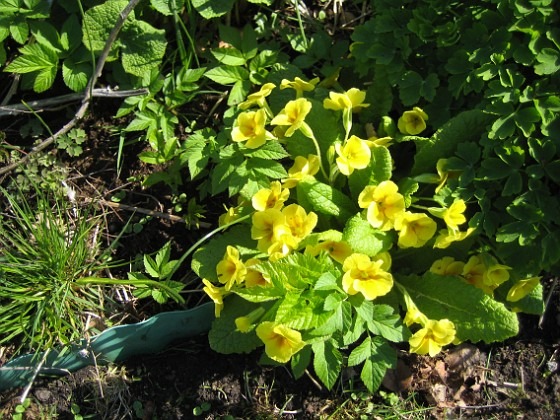 Primula Annars brukar perennrabatter vara tråkiga på våren.&nbsp 2012-05-01 023 Granudden Färjestaden Öland