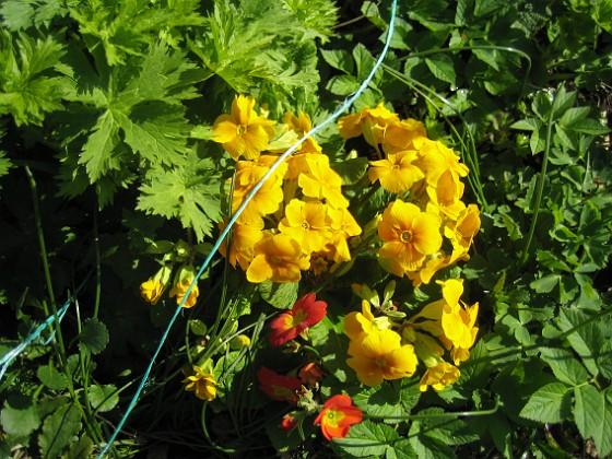 Primula { Här har vi två olika plantor på samma ställe. }