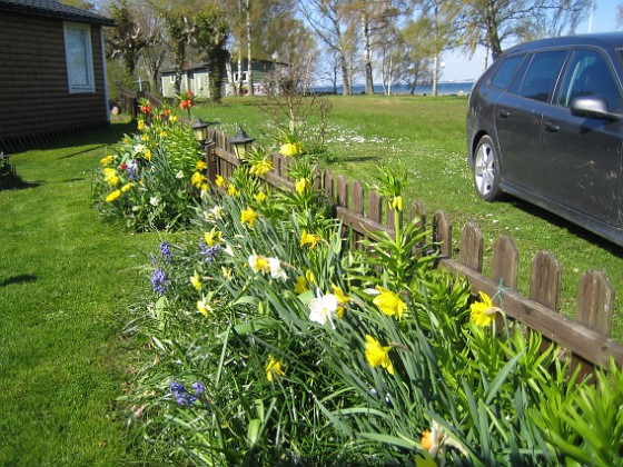 Granudden Massor av färglada Narcisser och Hyacinter. I bakgrunden ser man nu tydligt, att det inte är blommor på alla mina Kejsarkronor. Jag satte väldigt många och hade dessutom kvar lökar i olika storlekar från tidigare. Men de växer till sig för varje år. 2012-05-01 027 Granudden Färjestaden Öland