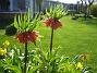 Kejsarkrona Växten som har det ståtliga latinska namnet 'Fritilaria Imperialis'. 2012-05-01 003