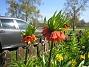 Kejsarkrona Den här blomman är verkligen säregen. De gröna bladen är uppåtvända och blomman är nedåtvänd. 2012-05-01 006