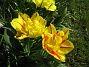 De här tulpanerna har lyckats övervintra bättre än de i den andra rabatten. Det kanske inte är lika trångt här. (2012-05-01 007)