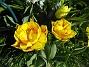 Tulpaner De är lite senare i sin blomning, och det är egentligen ganska bra. Jag vill ju inte att allting skall blomma över på en vecka. 2012-05-01 008