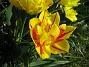 Tulpaner Jag brukar inte vara så förtjust i dubbla blommor, men den här gula och röda tulpanen är verkligen ett undantag. 2012-05-01 009