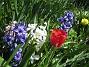 Hyacinter Jag hade från början väldigt mycket hyacinter men det blir färre och färre för varje år. Även dessa blommor har en viss förmåga att tränga ut sig själva så att säga, de har verkligen vidlyftiga blad och de behöver gott om utrymme. 2012-05-01 011