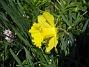 Påsklilja Jag tycker om växter med stora blommor klara färger. 2012-05-01 013