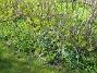 Scilla Scilla trivs med förkärlek under en stor syrenbuske. Jag vet inte om jag planterat ut Scilla just här men den har nog spridit sig dit och det blir fler och fler för varje år. 2012-05-01 016