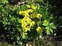 Primula När jag gjorde om min långa rabatt på bakgården, så köpte jag lite plantor på måfå och lyckades då få fatt i den här blomman, som kommer tillbaka varje år. 2012-05-01 021