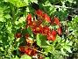 Primula Den blommar tidigt och står länge med vackra och skarpa färger. 2012-05-01 022