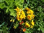 Primula Här har vi två olika plantor på samma ställe. 2012-05-01 024