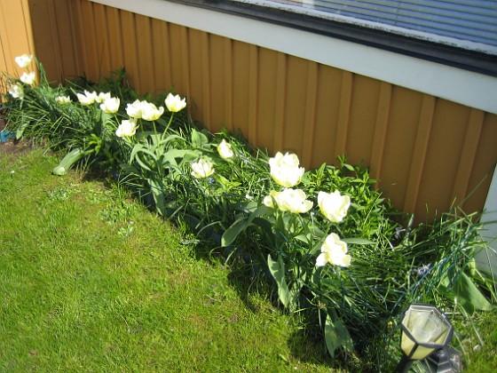 Vinkeln Här växer vackra vita Tulpaner. Här sitter egentligen tre olika sorter men i år har jag bara sett de vita. Det är tulpaner som blommar med flera blommor på varje planta.&nbsp 2012-05-06 020 Granudden Färjestaden Öland