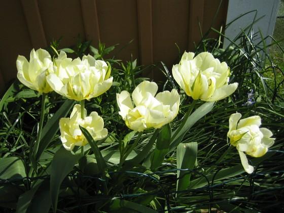 Tulpaner Det är lite vitt och även grönt inuti blommora.&nbsp 2012-05-06 021 Granudden Färjestaden Öland